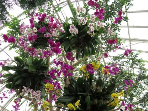 Pendant, striking orchids at the Orchid Show: Chandeliers, NYBG. Photo by Carole Di Tosti