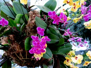 NYBG Orchid Show, orchids, NYBG, orchid curator, Marc Hachadourian, orchid gardening