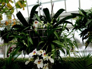 Pansy orchids beckon on the pathway into the conservatory depths at The Orchid Show: Chandeliers, NYBG. Photo by Carole Di Tosti