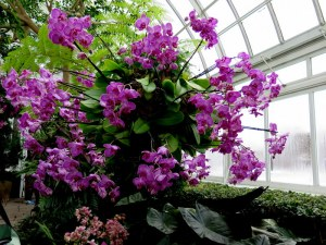 Dazzling chandeliers of orchid color at the NYBG Orchid Show. Photo by Carole Di Tosti