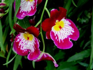 The next time I visit the show, I will try to purchase a pansy orchid at the Garden Shop. Photo by Carole Di Tosti
