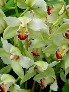 One variety of the orchids that you will see during the 13th Annual Orchid Show at the NYBG. Photo by Carole Di Tosti