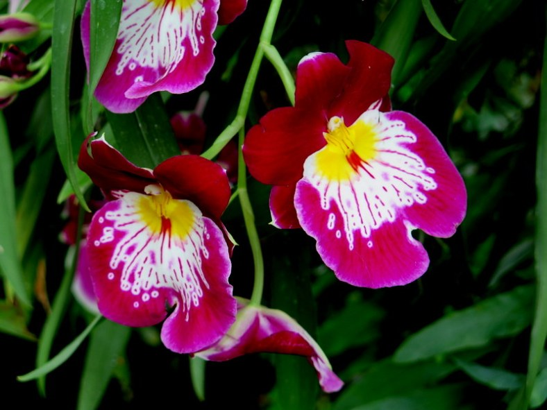 pansy orchids, NYBG, 14th Annual Orchid Show