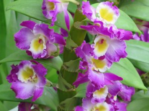 orchids, NYBG,