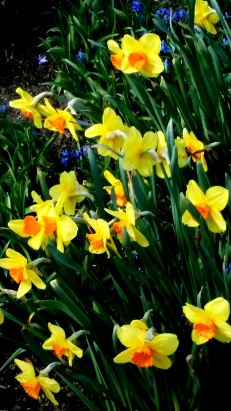 daffodils, NYBG, Earth Day Celebrations April 22-24
