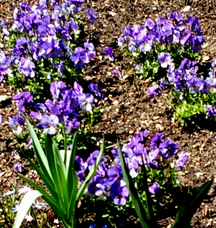 violets, NYBG, Earth Day Weekend, April 22-24, 2016