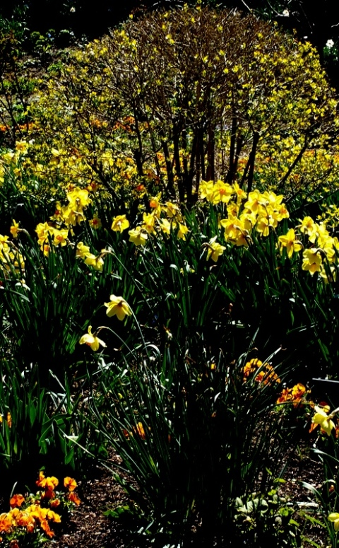 Daffodils, NYBG, Earth Day Celebrations, April 22-24, 2016