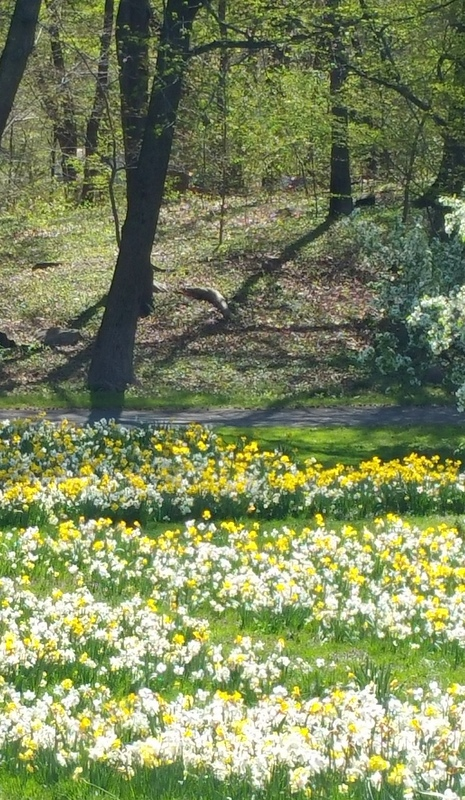 NYBG, Daffodil initiative, 125th Anniversary