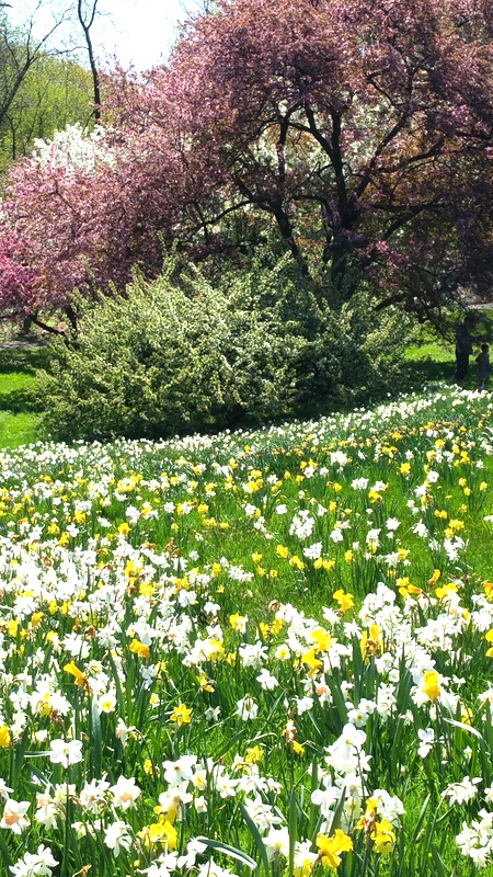 NYBG, one million daffodil project