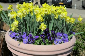 NYBG, Daffodil initiative