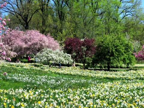 NYBG, Daffodil Hill