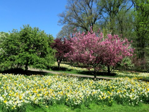 NYBG, one million daffodil initiative