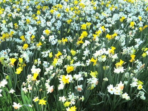 one million daffodil project, NYBG