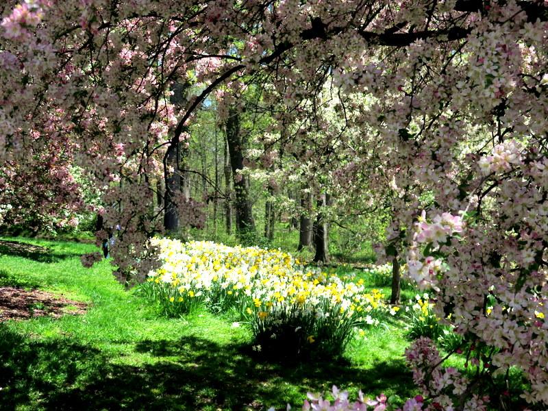 NYBG, 125th Anniversary, one million daffodil initiative