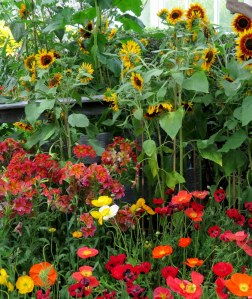 Poppies and sunflowers at the NYBG's 'Impressionism: American Gardens on Canvas.' Photo Carole Di Tosti