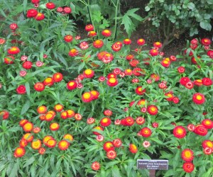 Strawflower, hot bikini, NYBG, Impressionism American Gardens on Canvas
