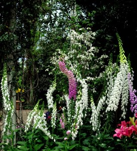 Foxgloves at the Enid A. Haupt Conservatory, NYBG's 'Impressionism: American Gardens on Canvas.' Photo by Carole Di Tosti