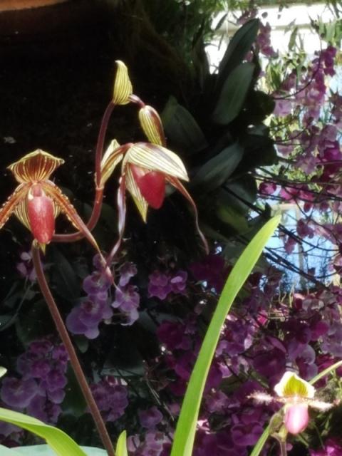 Thai sala, Thailand, NYBG, Orchid Show: Thailand, Phalaenopsis, Paphiopedilum