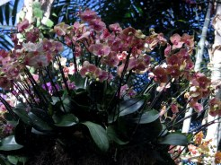 Phaelaenopsis, NYBG, 15th Annual Orchid Show, Orchid Show: Thailand