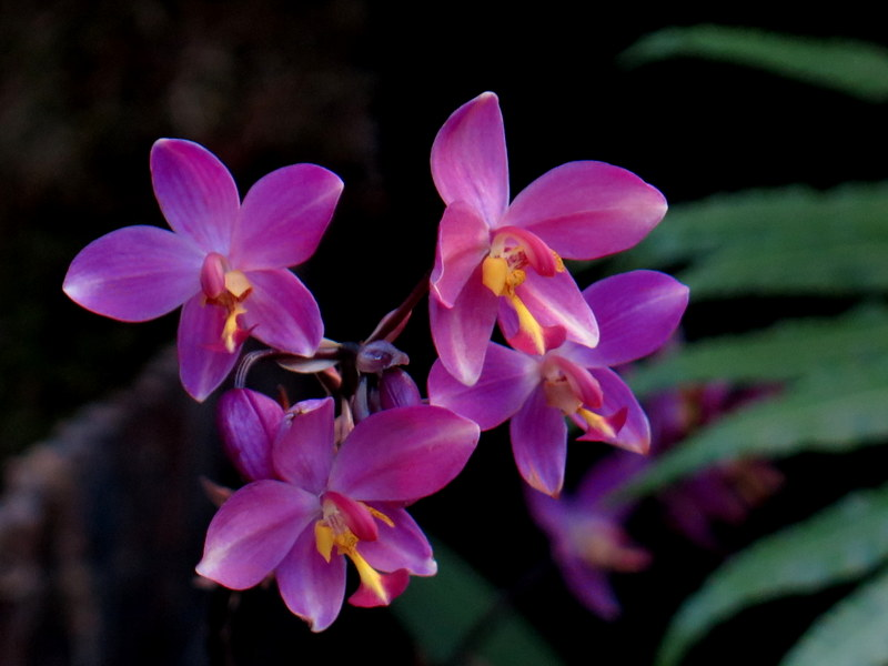 Dendrobium, NYBG, Orchid Show: Thailand