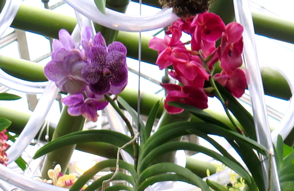vandas, 2018 NYBG Orchid Show,