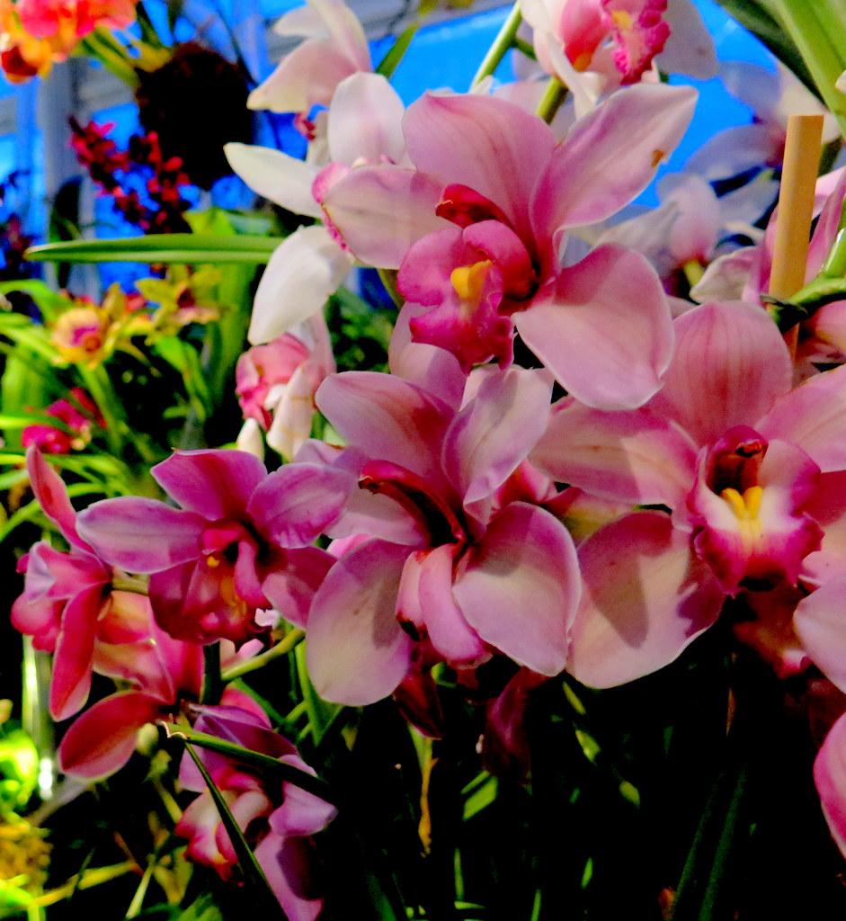 Daniël Ost, cymbidium, 2018 NYBG Orchid Show, orchid evenings