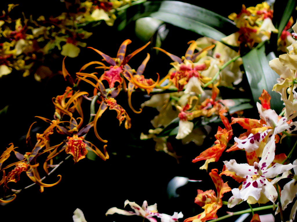 2018 nYBG Orchid Show, orchid evenings, Daniël Ost,