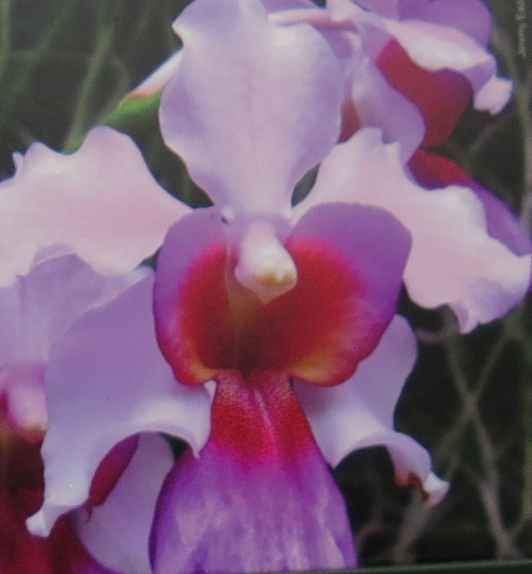 Vanda 'Miss Joaquim' hybrid orchid, Singapore National Flower, NYBG Orchid Show: Singapore, Enid A. Haupt Conservatory