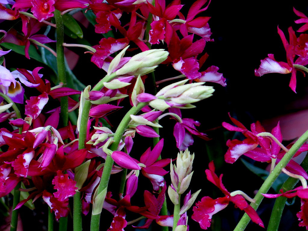 The Orchid Show: Singapore, 17th Annual Orchid Show, NYBG, Enid A. Haupt Conservatory, Singapore