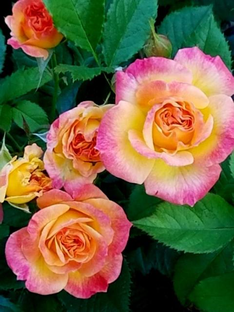 Peggy Rockefeller Rose Garden, NYBG