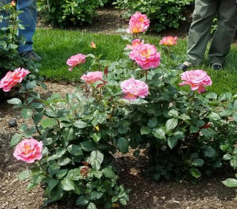 "Peggy Rockefeller Rose Garden, Rose Weekend, ""Julie Andrews"""