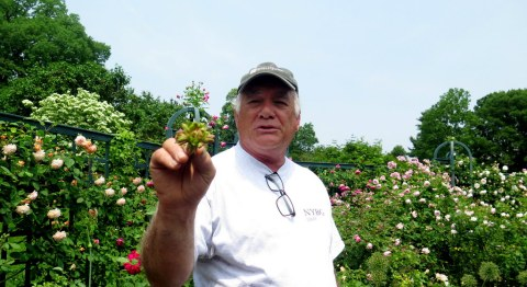 Stephen Scanniello, Rose Curator of NYBG, green rose, Peggy Rockefeller Rose Garden, NYBG