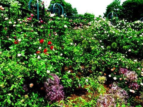 Peggy Rockfeller Rose Garden, NYBG