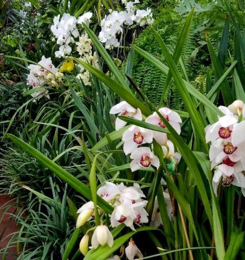 Cymbidium Orchids, NYBG