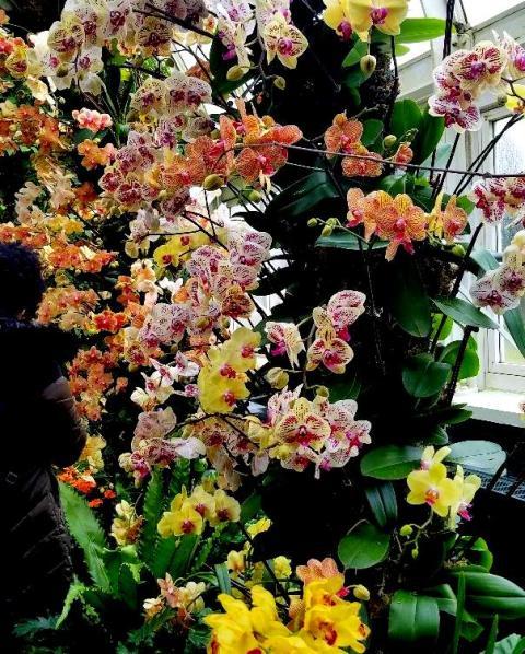 Phalaenopsis Orchids, NYBG
