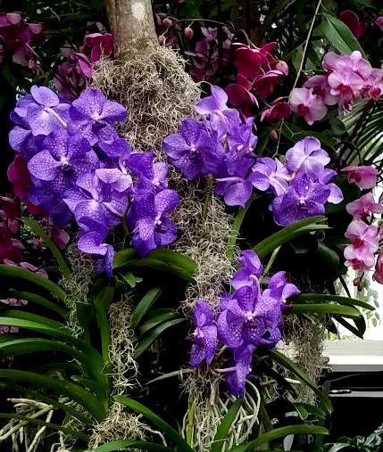 vanda orchids, NYBG
