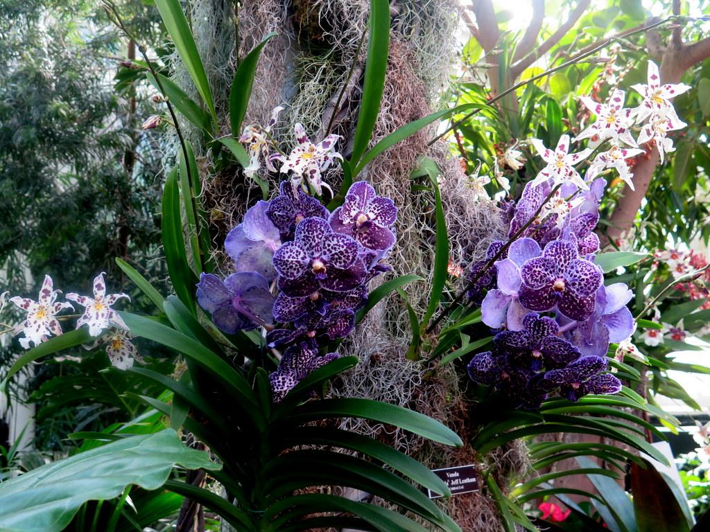 Vanda sunanda,The Orchid Show: Jeff Leatham's Kaleidoscope, NYBG 18th Orchid Show, Jeff Leatham