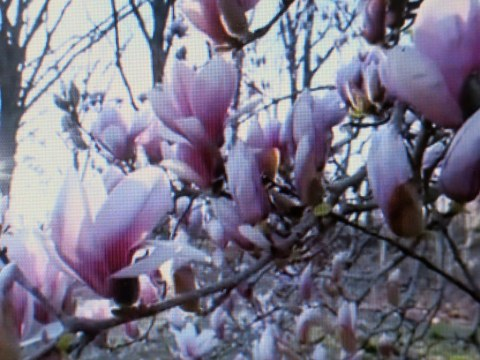 New York Botanical Garden, Magnoias,