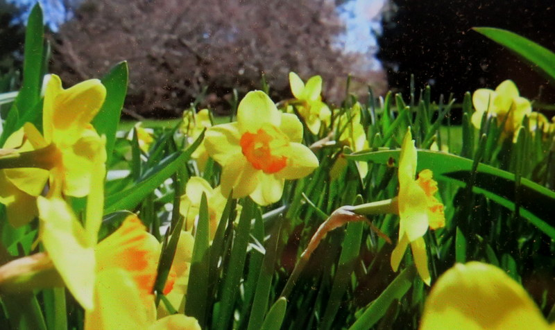 Daffodils, NYBG, Journey Through Spring II, Todd Forrest COVID-19 closure, Facebook Watch Party