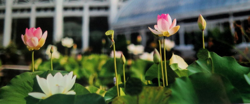 Lotus and Water Lilies, NYBG, New York Forward Phase Four, Governor Cuomo, Appreciation Week, Public Opening 28 July
